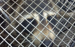 raccoon removal indianapolis